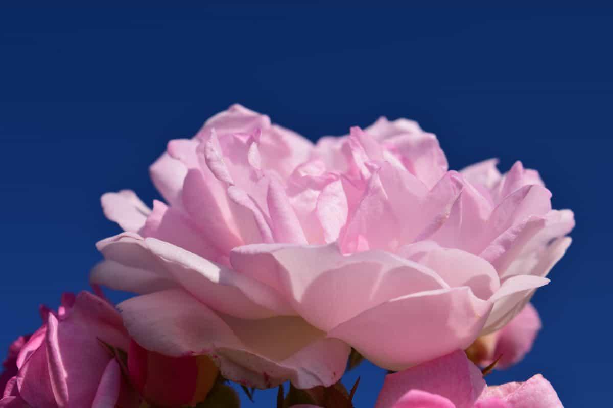 цвете, природа, венчелистче, роза, розово, растение, цъфти