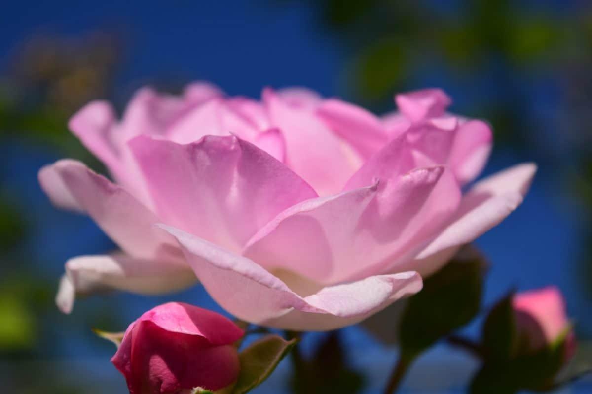 příroda, flora, denní světlo, poupě, zahrada, růže, okvětní lístek, růžové, rostliny
