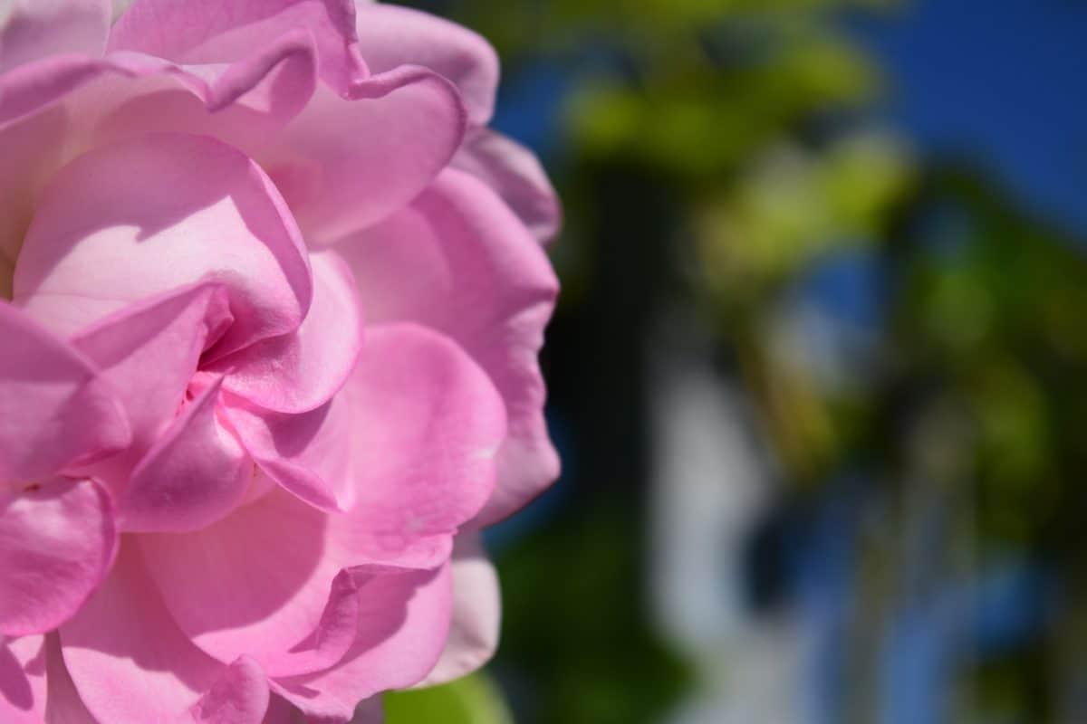 macro, luce, natura, fiore, estate, flora, giardino, rose, petalo, rosa