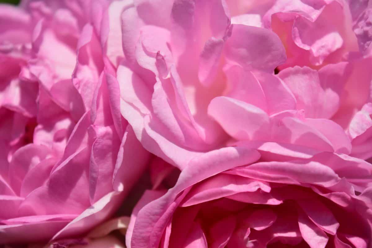 Flora, schön, Natur, Blume, Makro, rosa, Blütenblatt, Rose, Pflanze