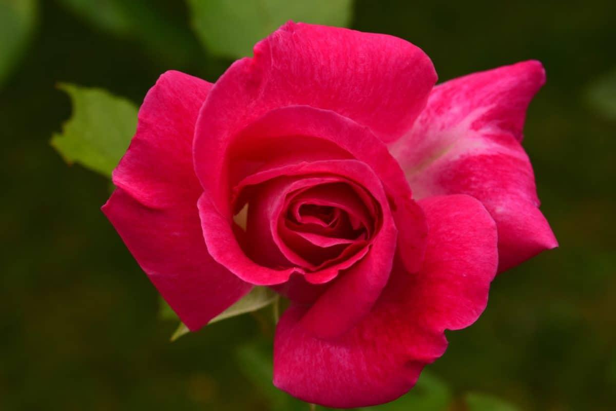 macro, lumière du jour, détail, rose, pétale, flore, fleur rouge, nature