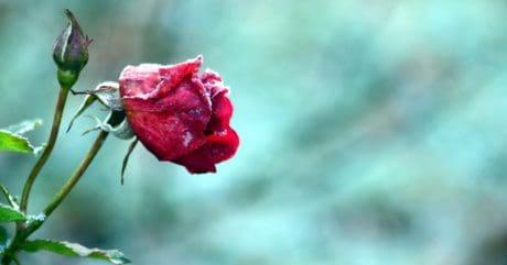 Hoa, lá, thiên nhiên, mùa hè, Hoa hồng, cánh hoa, thực vật, Hoa