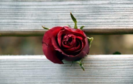 petalo, natura, fiore, rosa, legno, rosso