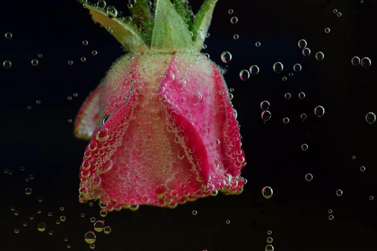 nước, chất lỏng, rose, cánh hoa, Hoa, thực vật, bong bóng