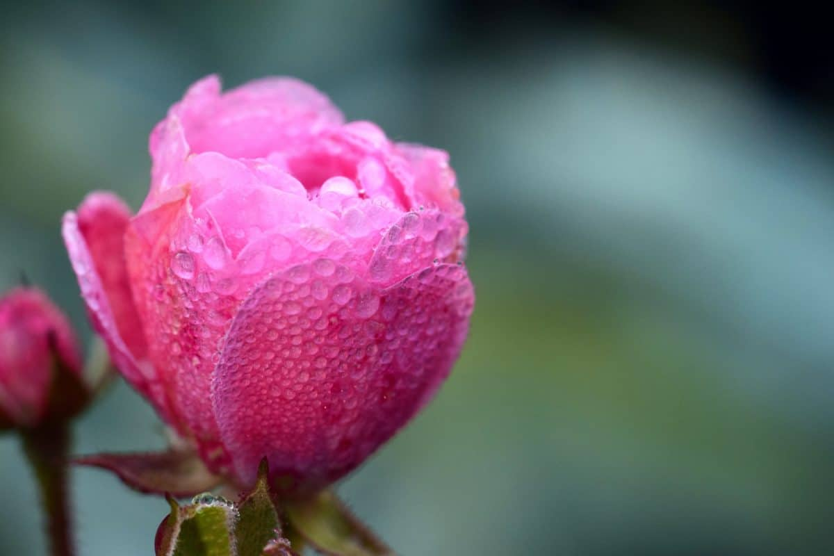 dew, moisture, nature, leaf, flower, rose, petal, blossom, pink, plant, bloom