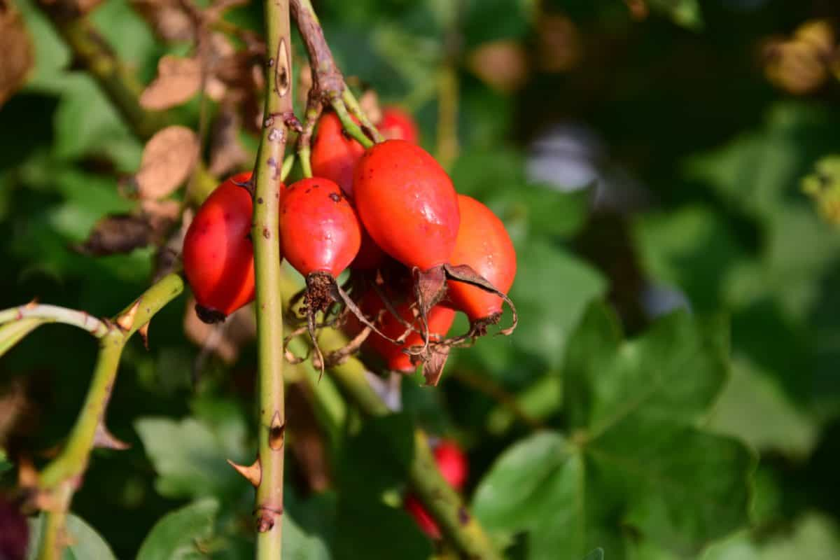 rose hip, fruit, forest, leaf, plant, berry