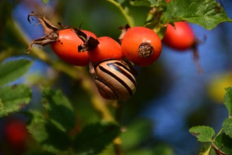 rose hip, fruit, forest, leaf, plant, berry, snail, animal