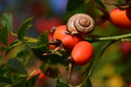 rose hip, berry, snail, animal, fruit, forest, leaf, plant