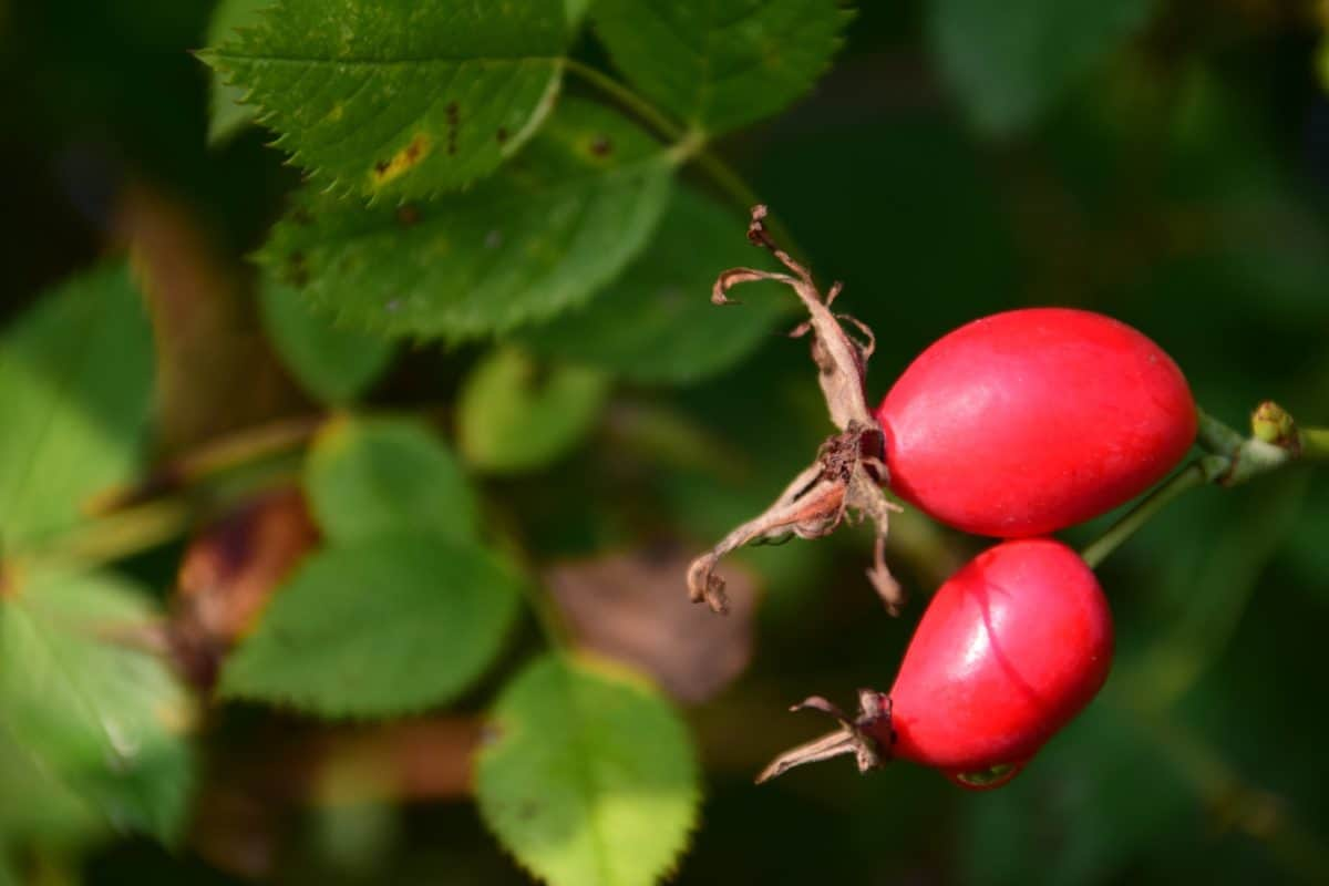 rose hip, berry, fruit, forest, leaf, plant