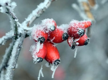 rose hip, branch, winter, frost, cold, fruit, berry
