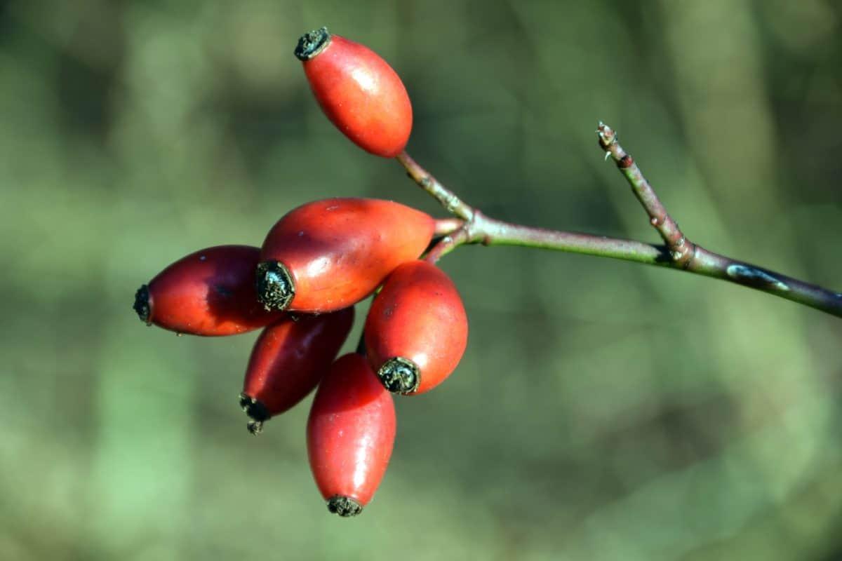 fruit, nature, plant, rose hip, branch, sun, autumn