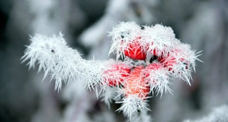 rose hip, nature, frost, snowflake, ice, tree, cold, plant, branch