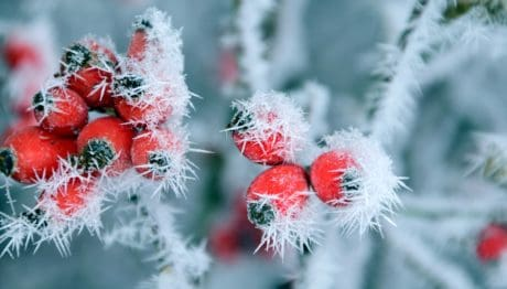 rose hip, nature, tree, cold, plant, branch, frost, snowflake