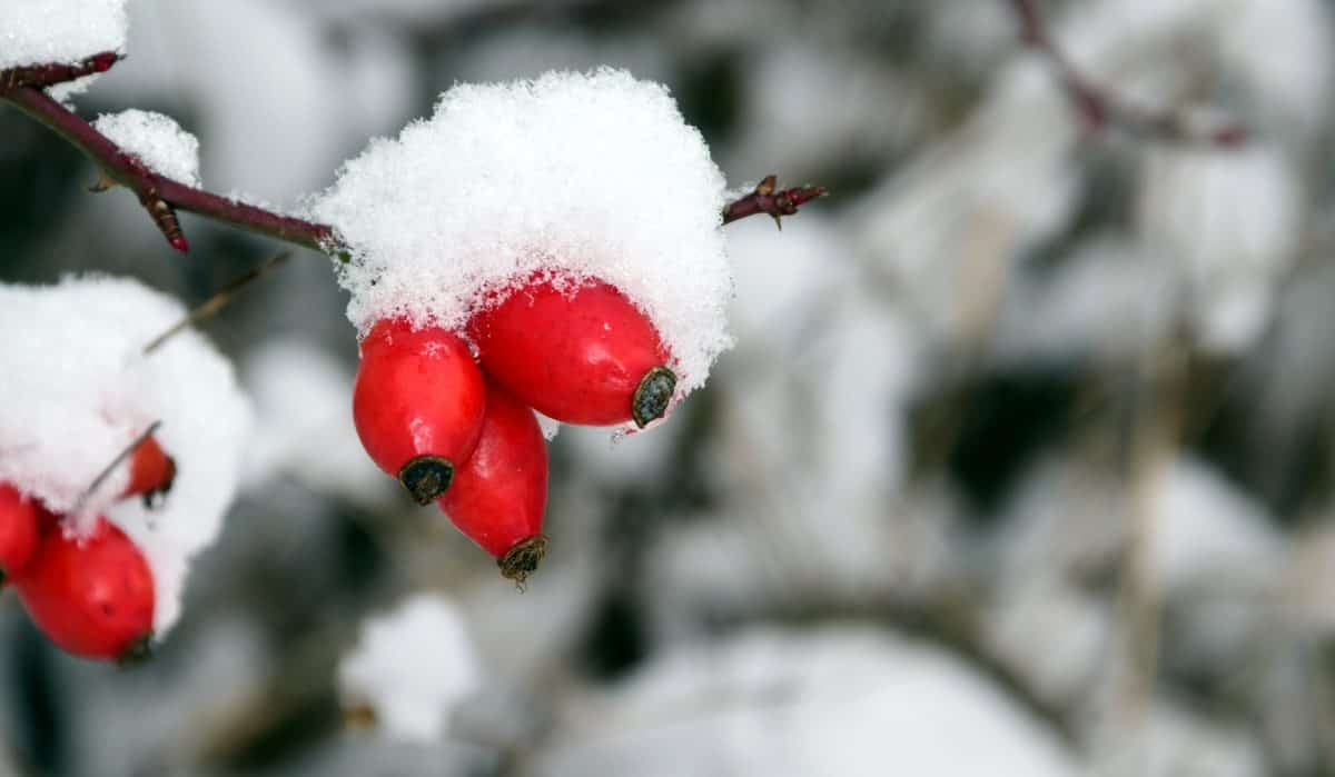 rose hip, nature, tree, winter, snow, cold, plant, branch