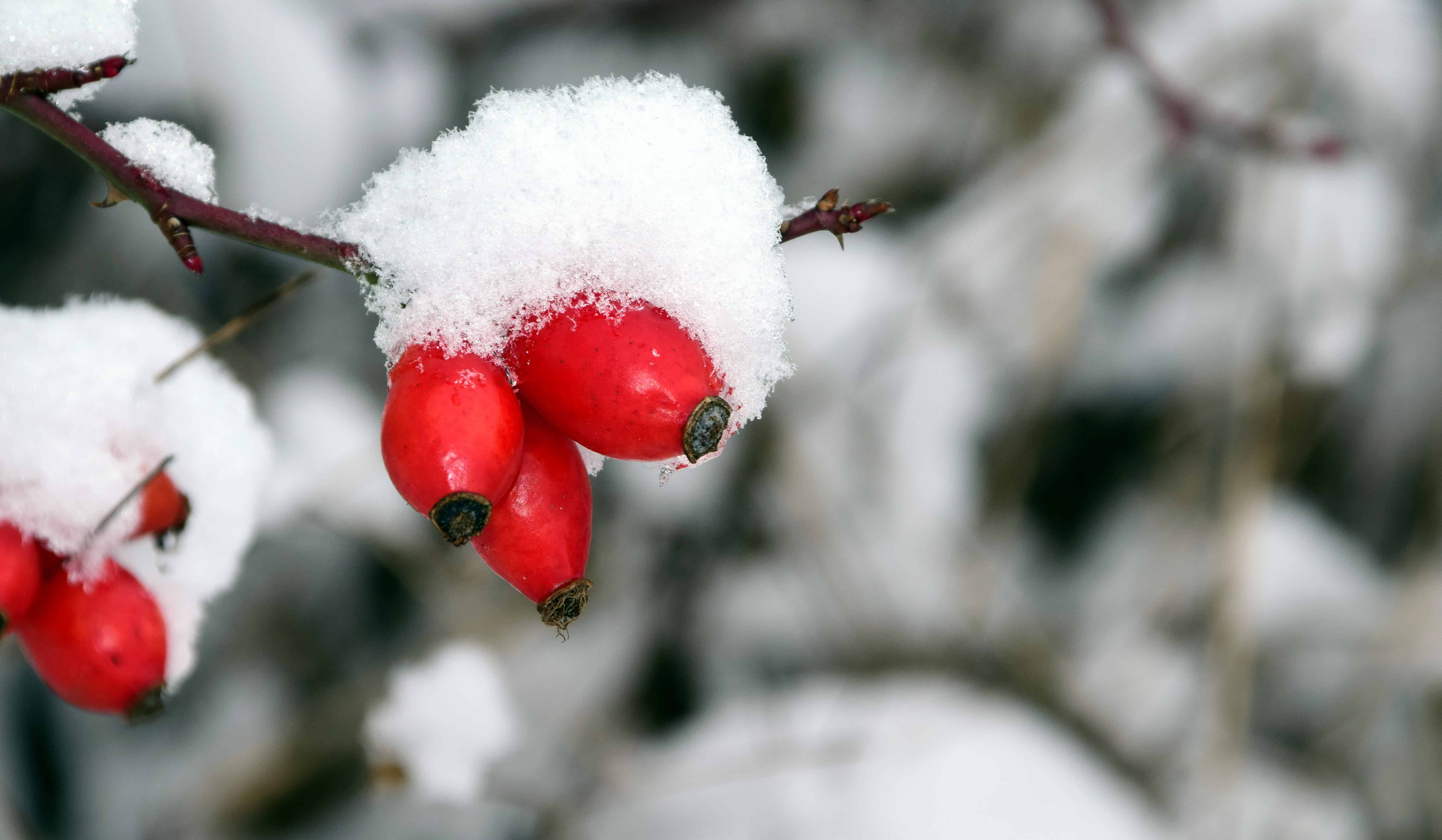 Image Libre Rose Musquee Nature Arbre Hiver Neige Froid