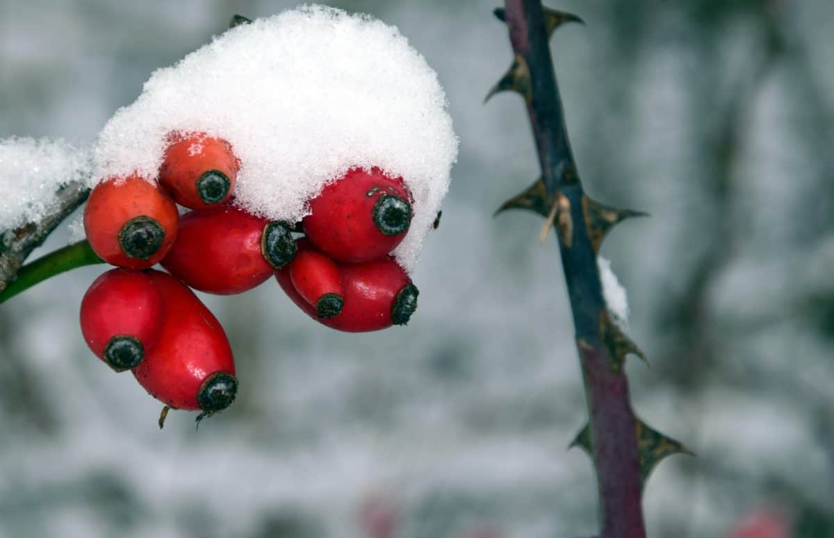 nature, tree, rose hip, winter, snow, cold, plant