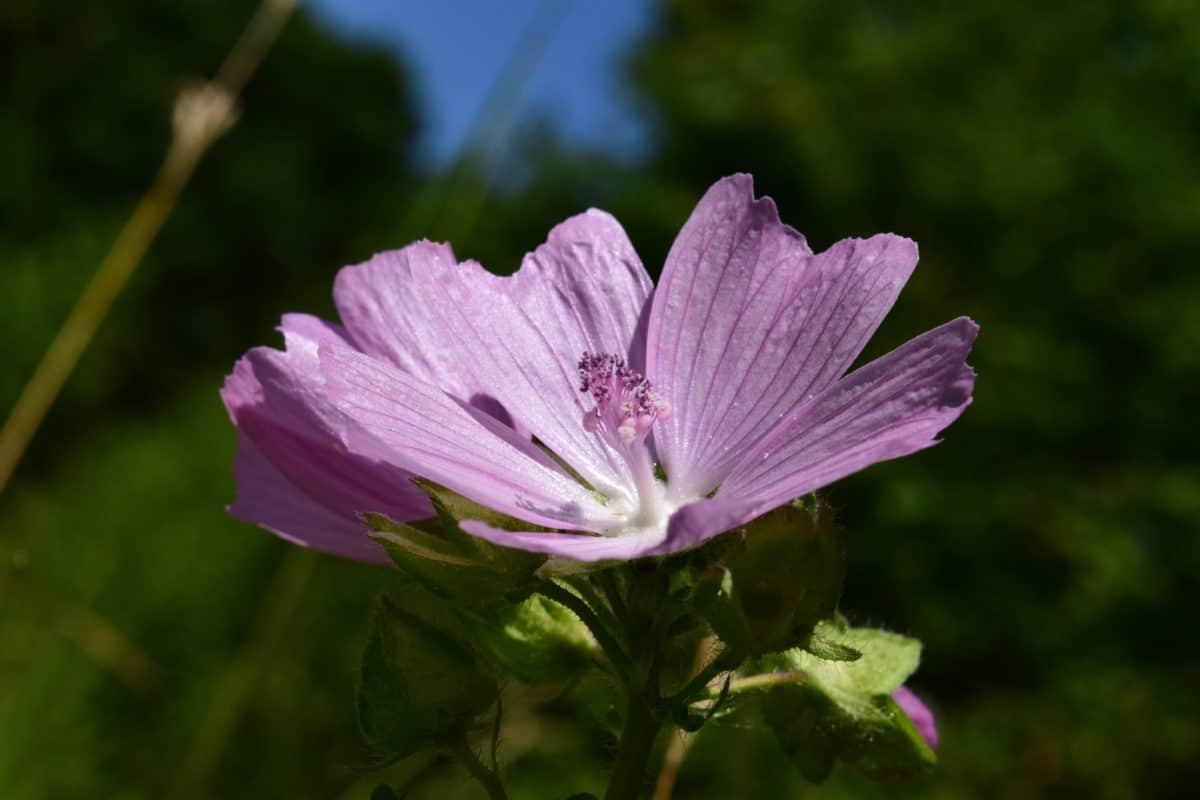jardín, naturaleza, hoja, verano, flores silvestres, flora, plantas, flor