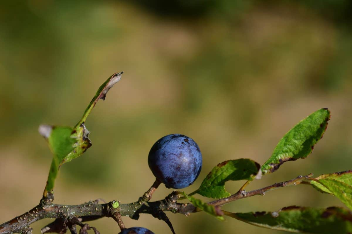 Cassis, arbre, nature, feuilles, fruits, prunellier, berry, branche