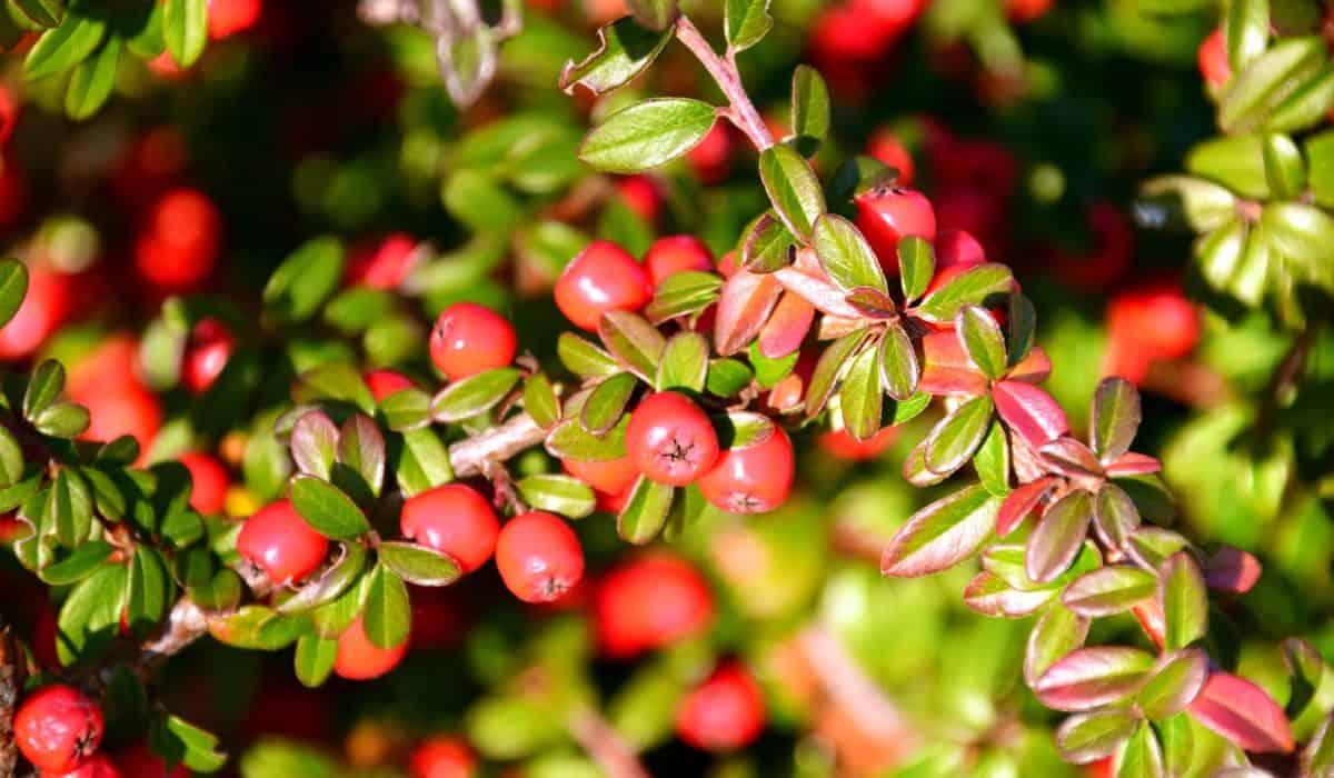 branche, feuille, flore, jardin, arbre, nature, plante, arbuste, berry