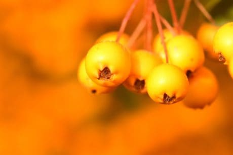 shrub, berry, nature, plant, summer, brown, macro, detail, herb
