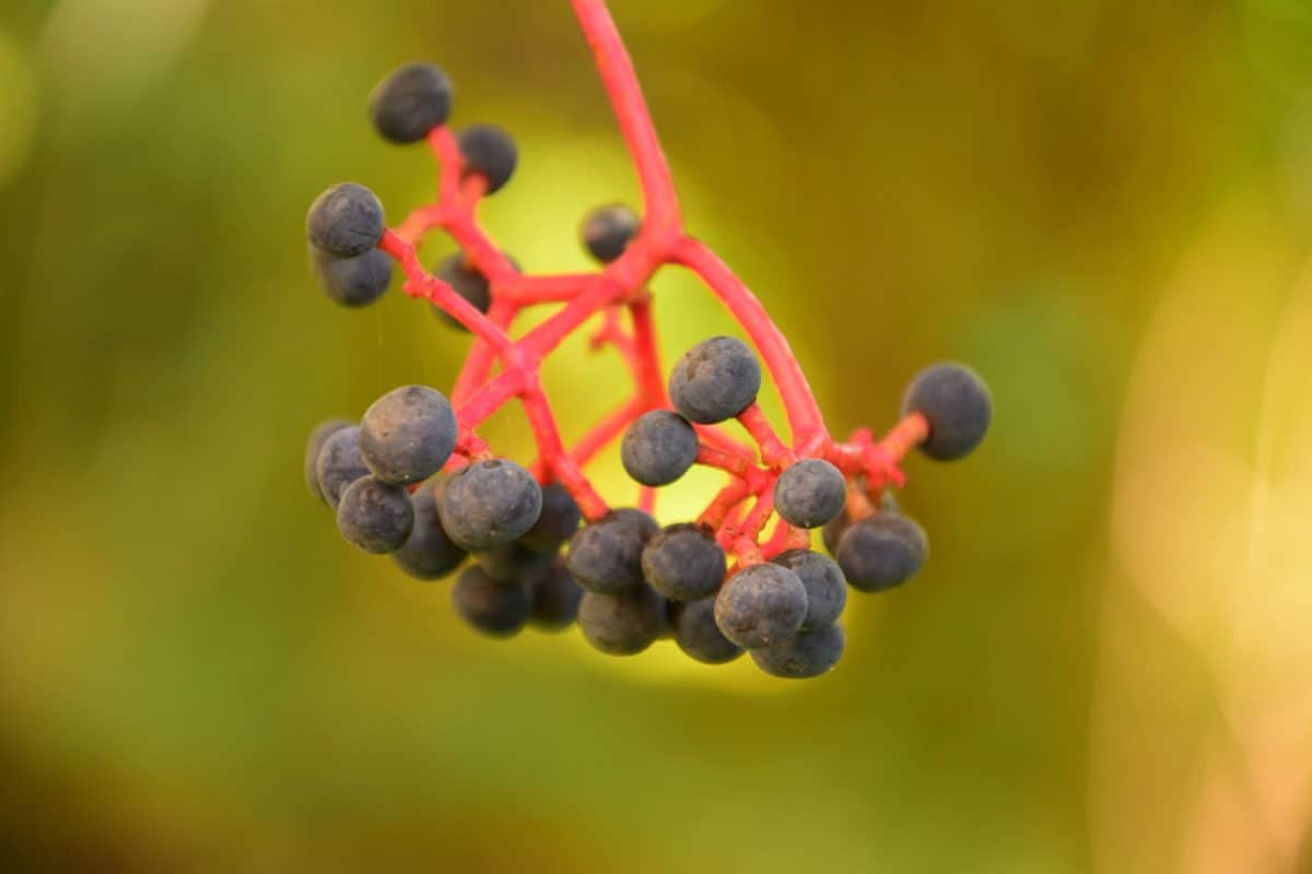 fruit, berry, autumn, flora, branch, nature