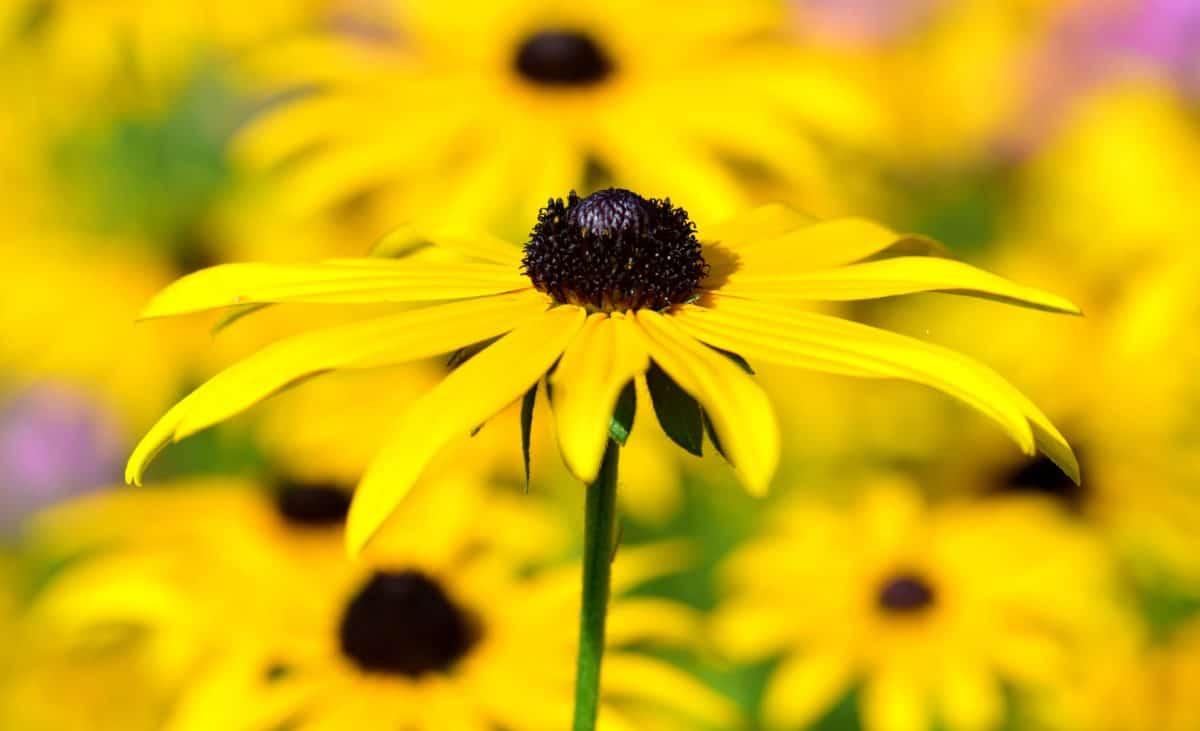 jardín, flora, naturaleza, flor, verano, planta, Pétalo