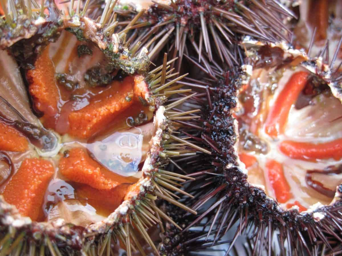 sea urchin, sea, thorn, poison, animal, invertebrate