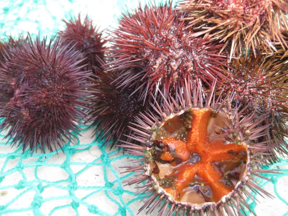 erizo de mar, animal, invertebrado, detalles, macro, espina, veneno