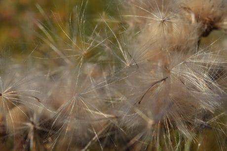 seed, outdoor, nature, dandelion, summer, flora