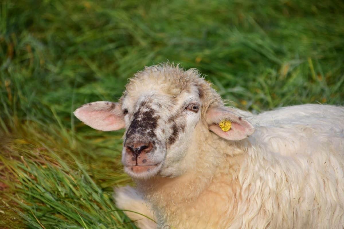 natura, erba, pecore, all'aperto, fattoria