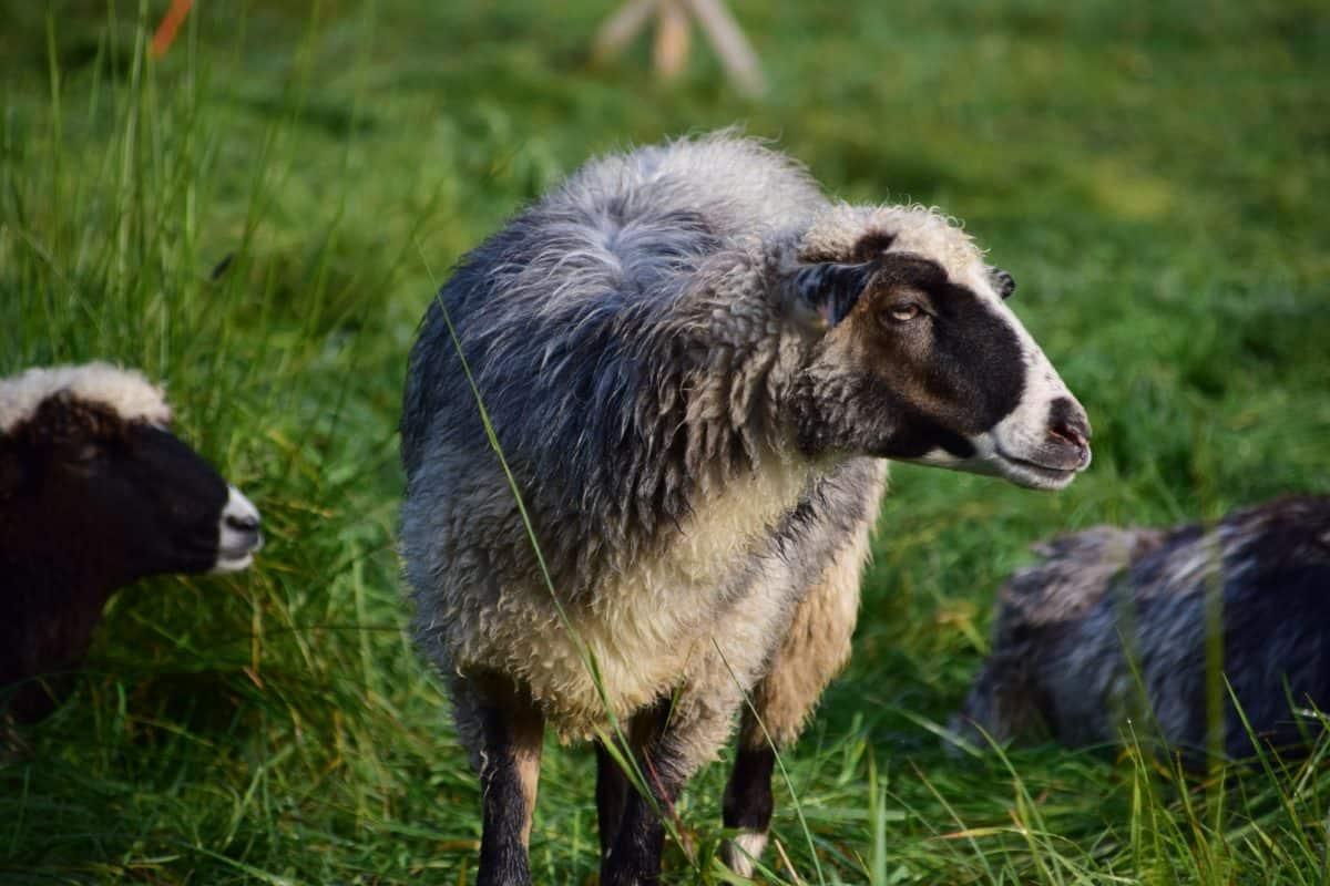 sheep, grass, livestock, animal, field, outdoor