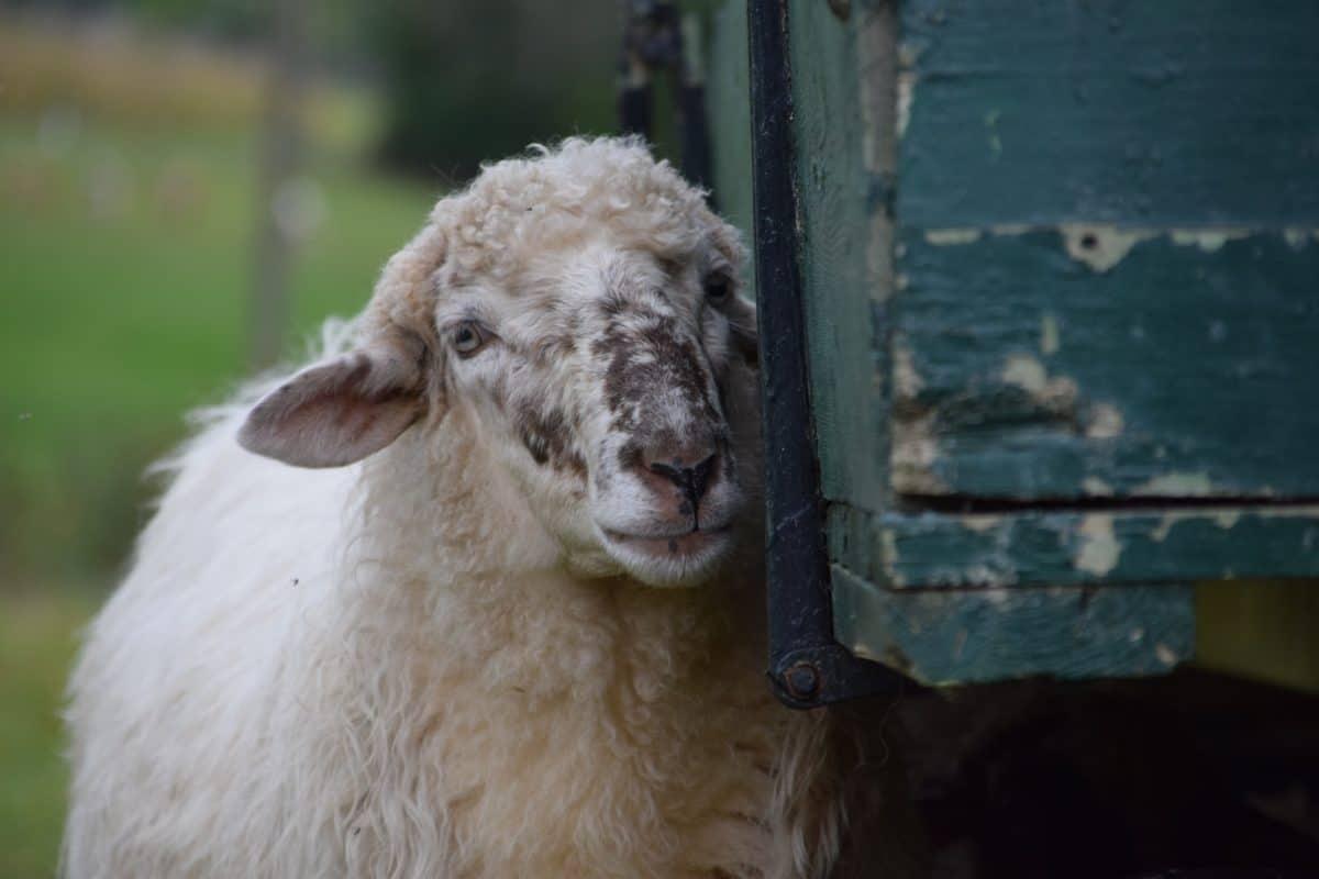pecore, ritratto, animale, all'aperto, erba