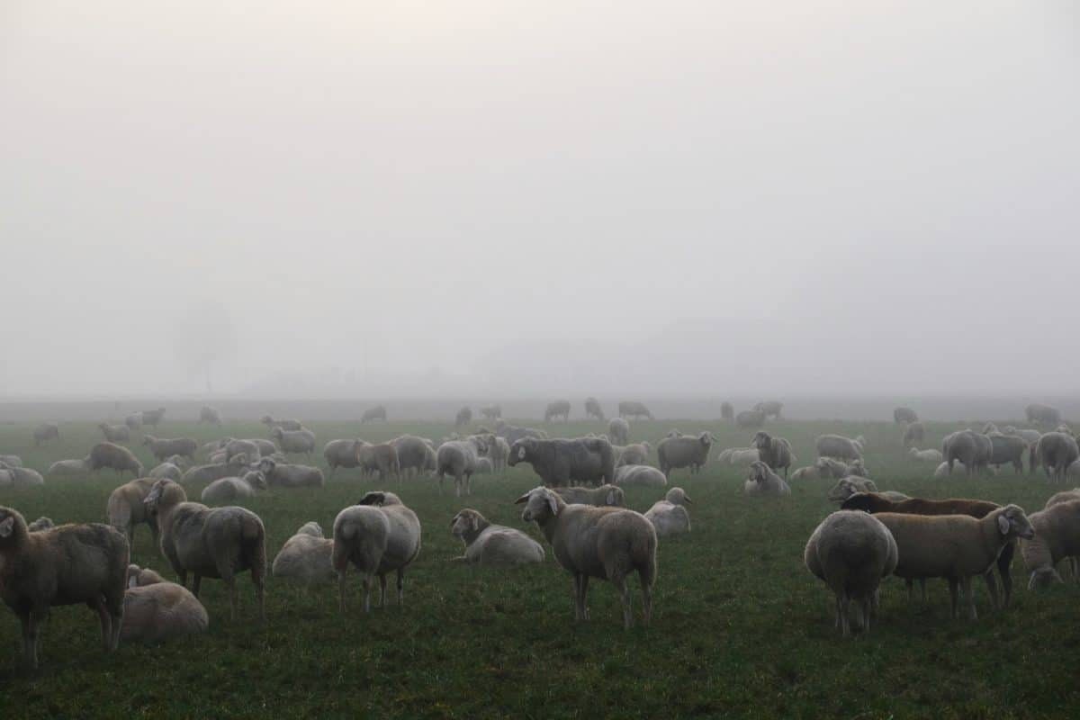 livestock, fog, daylight, herd, sheep, grass, landscape, field