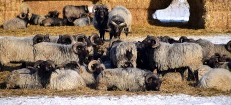 des troupeaux, l'agriculture, bétail, moutons mérinos, animal, bétail