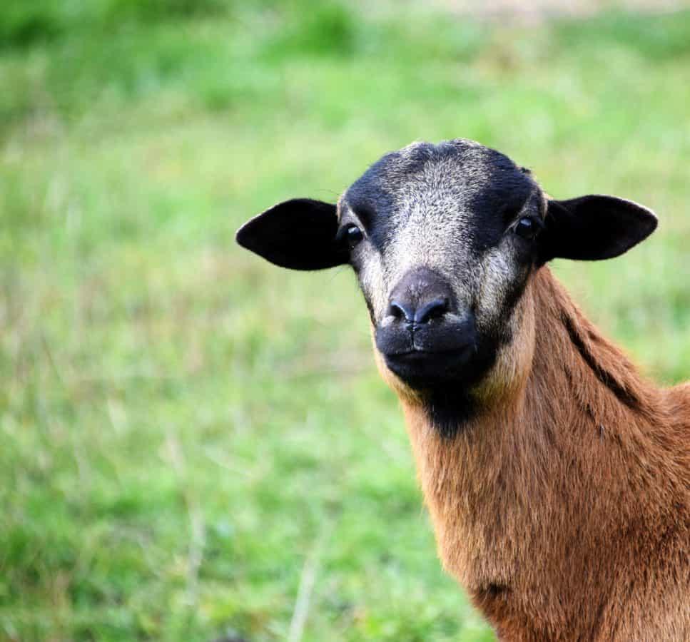 Tier, Rasen, niedlich, Ziege, Feld, Bauernhof, Wolle