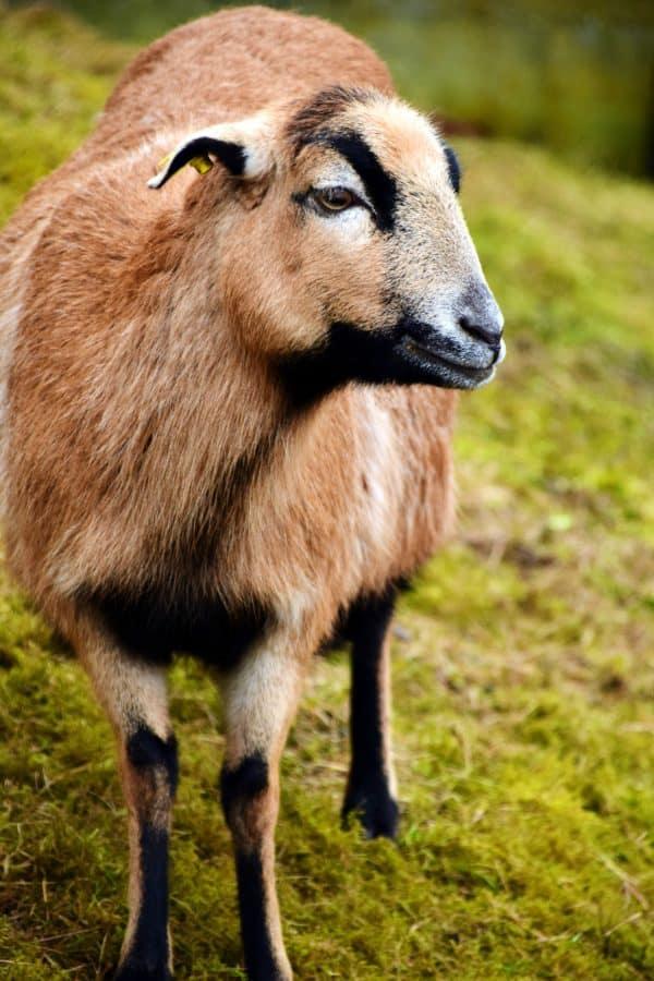 chèvre, herbe, animal, ferme, laine, champ