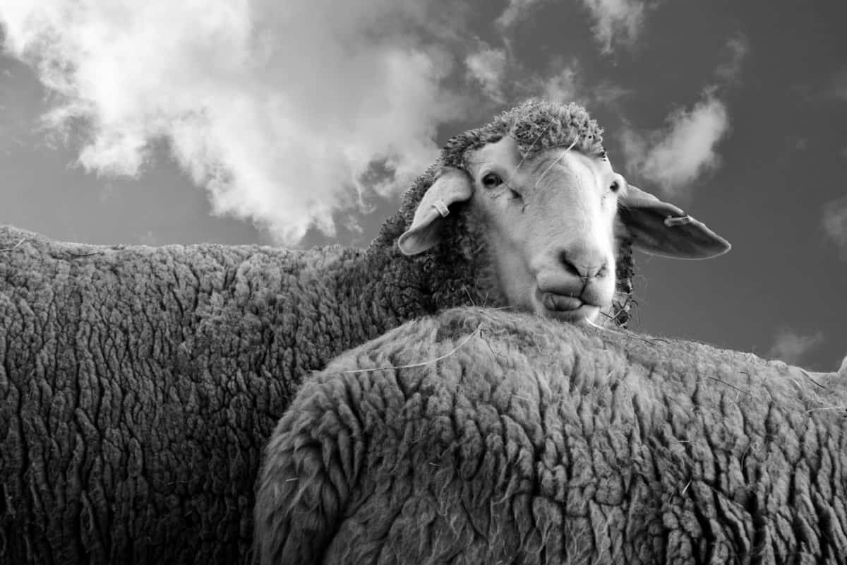 animal, sheep, sky, monochrome, cloud, farm, wool, field