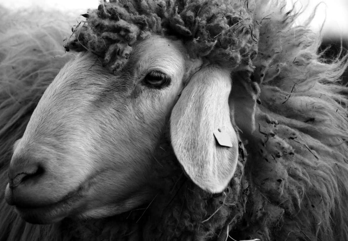 monochrome, portrait, merino, sheep, animal