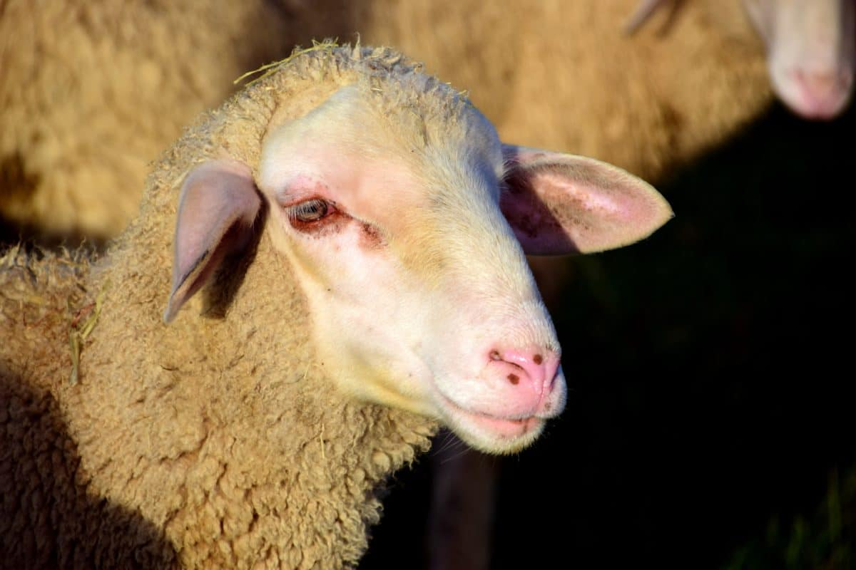 sheep, livestock, agriculture, animal, agriculture