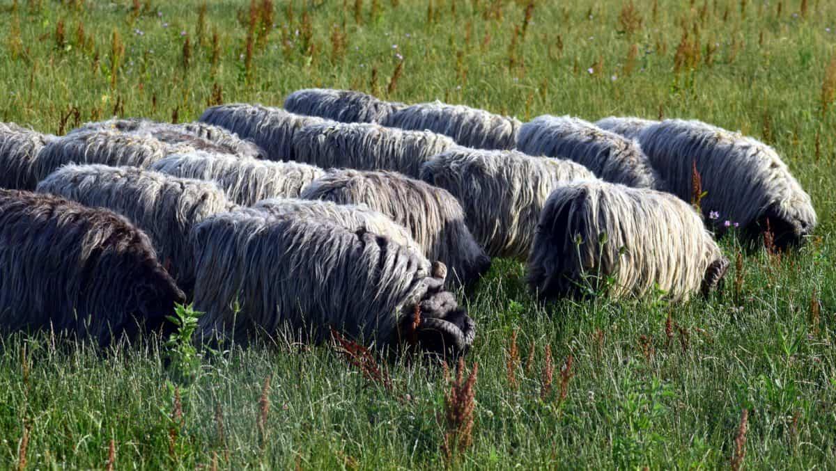 herbe, nature, champ extérieur, moutons,