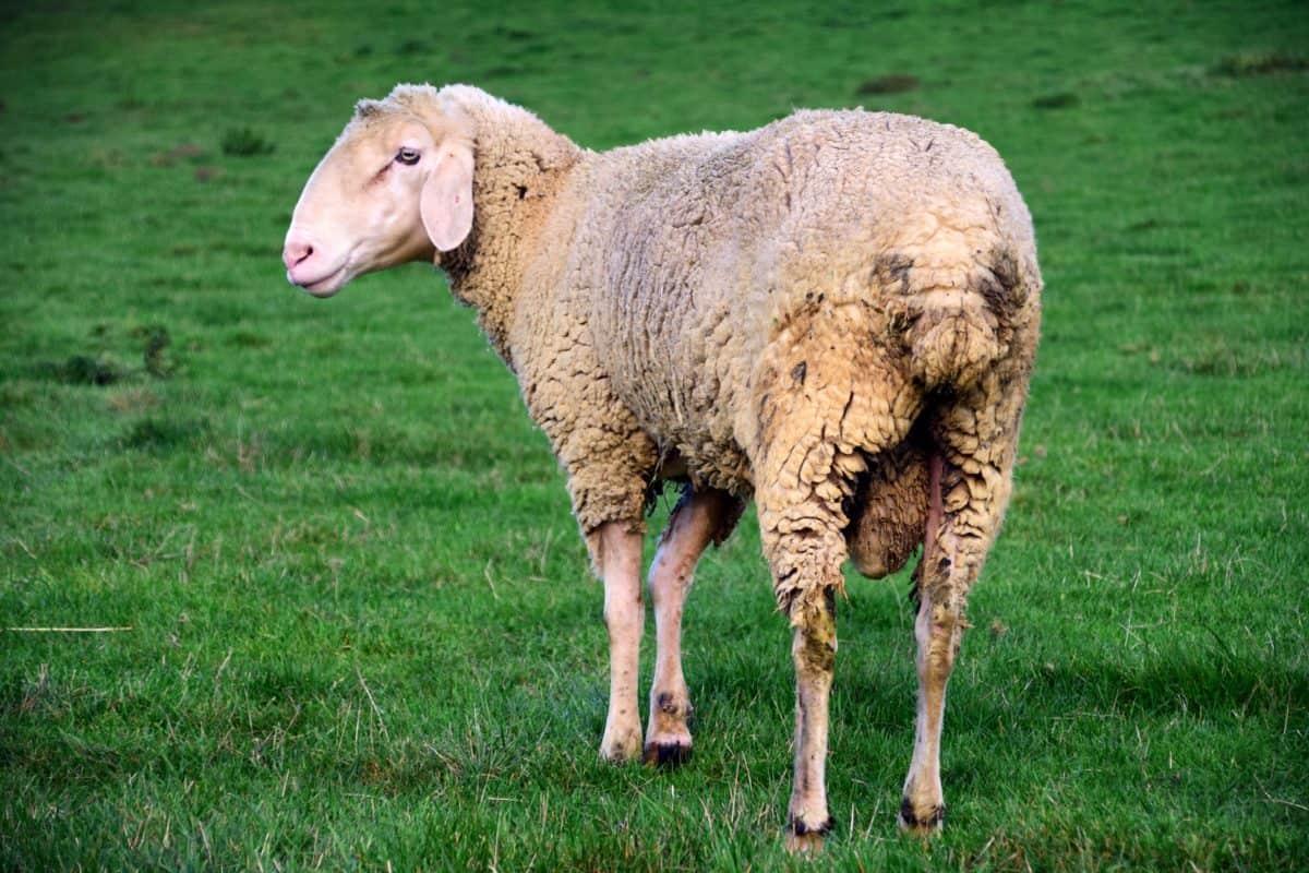 овце, добитък, селското стопанство, животни, трева