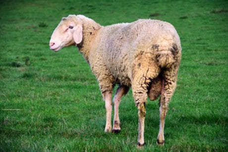 sheep, livestock, agriculture, animal, grass