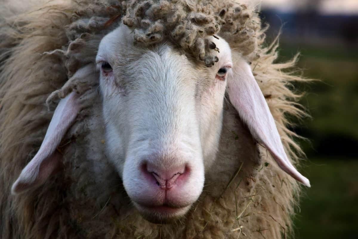Schafe, Tiere, Natur, Tiere, outdoor, Kopf, Nase