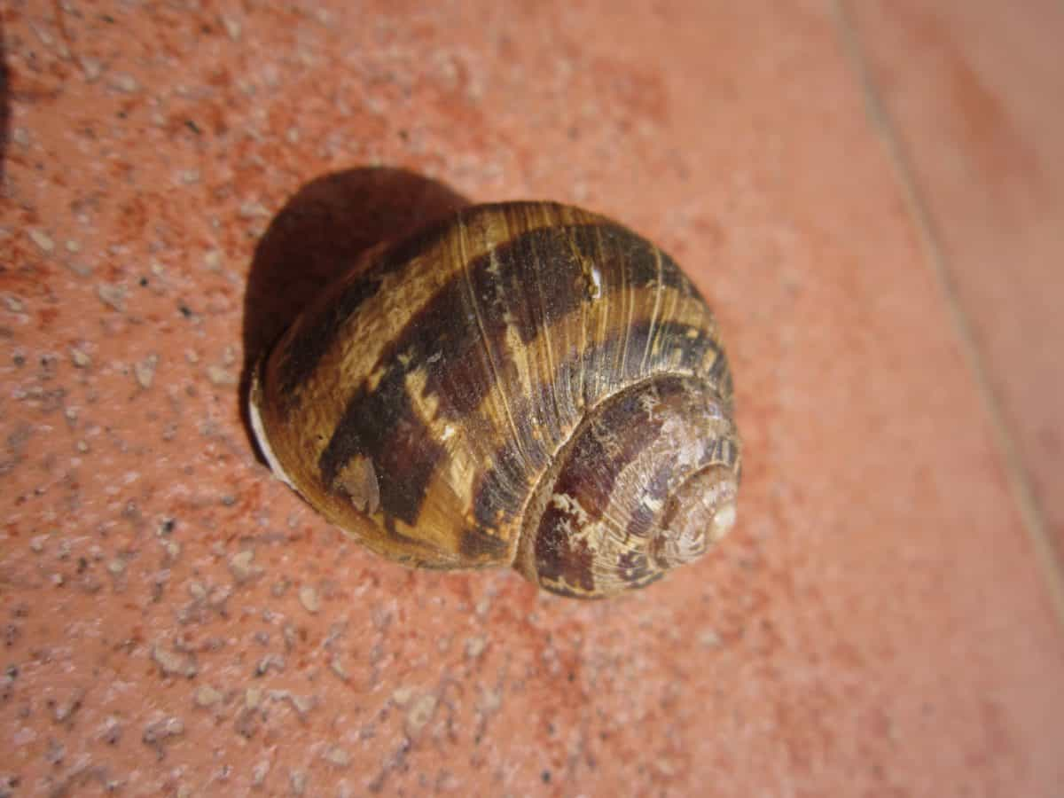 gastrópodes, shell, caracol, animal, invertebrado