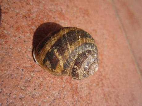 gastropod, shell, snail, animal, invertebrate