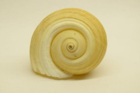 Shell, animal invertébré, escargot, gastéropode