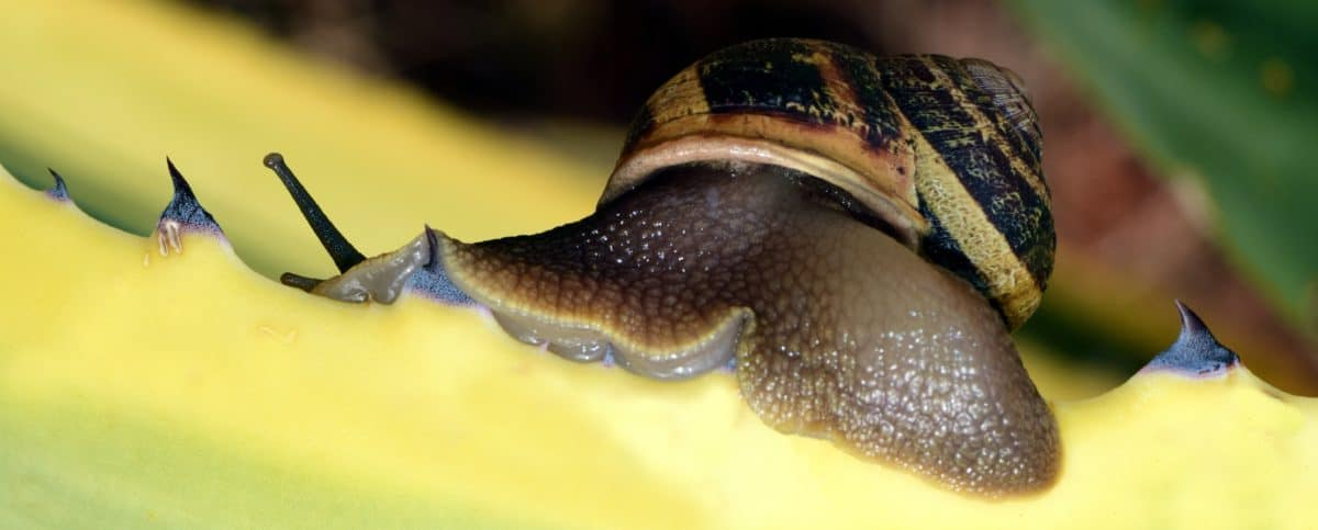 snail, animal, brown, nature, invertebrate, leaf, garden