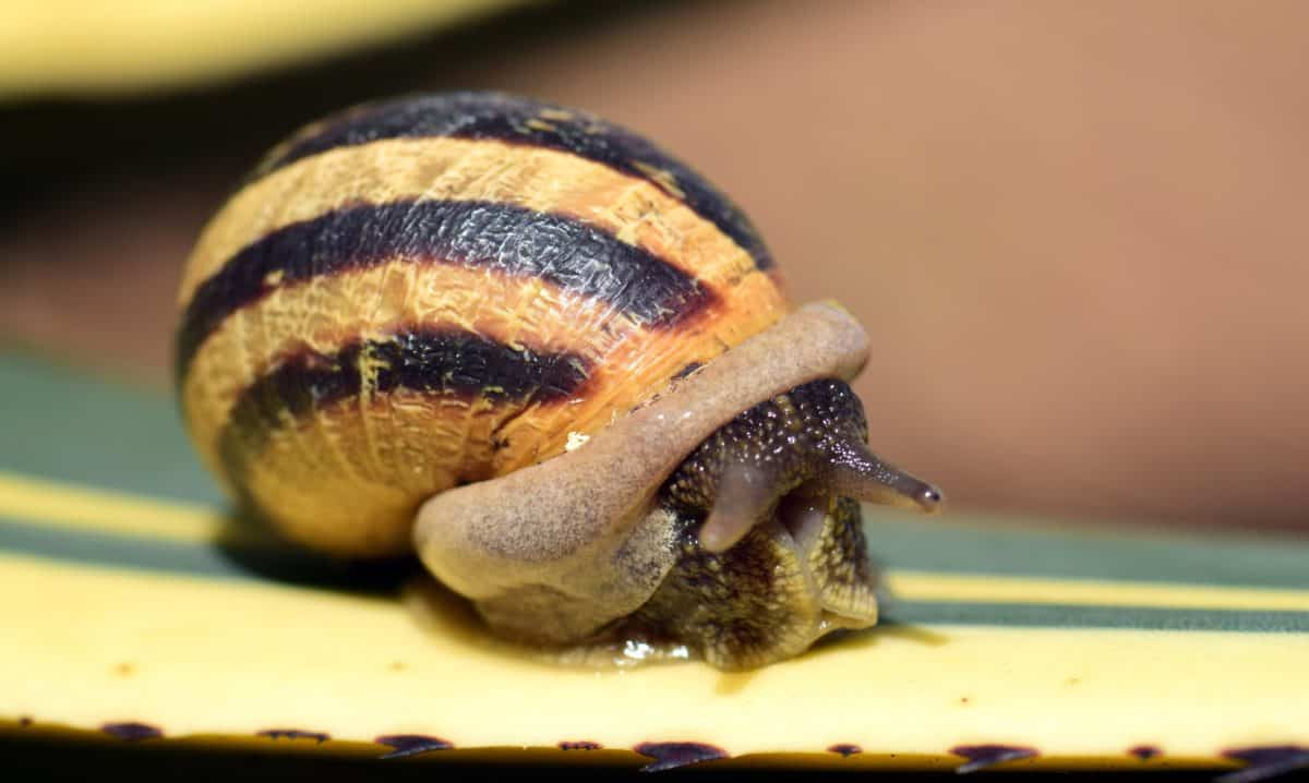 garden, snail, invertebrate, brown, shell, nature, food, gastropod, animal