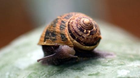 animal, invertebrate, brown, shell, nature, snail, gastropod