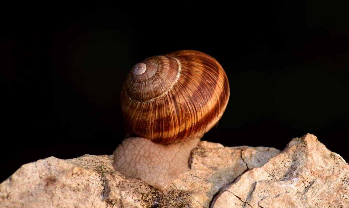 caracol, animal, piedra, marrón, invertebrado, shell, naturaleza